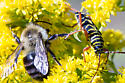 Locust Borer grappling with Bee - Megacyllene robiniae