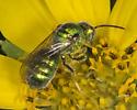 Unknown sweat bee (Agapostemon sericeus?) - Augochloropsis metallica - male
