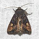 American Angle Shades - Hodges#9545 - Euplexia benesimilis