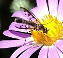 Can you help me identify this bug that looks like a mosquito but feeds like a bee? - Thevenetimyia affinis