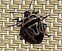 Colorado Pentatomid - Perillus bioculatus