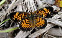 Awesome Butterfly Subfamily Nymphalinae - Phyciodes tharos