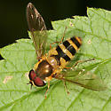 hairy Syrphid fly - Epistrophe grossulariae