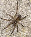 Greenwood Bioblitz Spider #1 - Tigrosa helluo