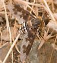 Exoprosopa divisa - female