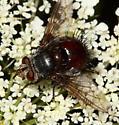 Tachinid - Juriniopsis adusta
