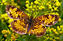 A butterfly at Lost Lake - Phyciodes cocyta - male