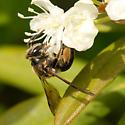Andrena crataegi ? - Andrena crataegi - female