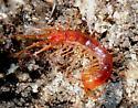 centipede? from Kisatchie