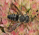 Leaf-cutting Bee - Another male Coelioxys? - Coelioxys - male