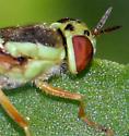 lime green fly - syrphiid? - Odontomyia cincta - female