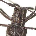 Longhorn - Monochamus titillator