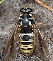 Syrphid Fly - Temnostoma excentrica