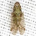 Tropiduchid Planthopper - Pelitropis rotulata