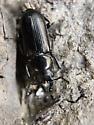 Platycerus quercus - male