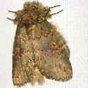 Wavy-Lined Heterocampa Moth - Hodges #7995 - Heterocampa biundata