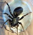 Ground spider - Castianeira