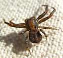 Adult female crab spider - Xysticus montanensis? - Xysticus montanensis - female