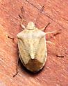 Stink Bug - Thyanta