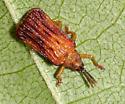 Leaf Beetle - Baliosus nervosus