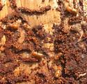 Pine beetles - Ips