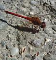 dragonfly - Sympetrum vicinum