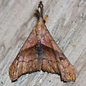 Dark-spotted Palthis Moth - Hodges #8397 - Palthis angulalis - female