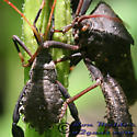 Leaffooted Bug - Acanthocephala femorata - male - female