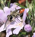 Prionyx wasp - Prionyx