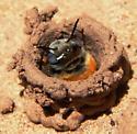 Soil-dwelling bee - Ptilothrix