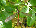 Western Giant Cranefly - Holorusia hespera - male