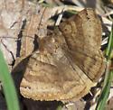 Lepidoptera - Caenurgina crassiuscula