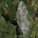 Eupithecia cf. mutata - Eupithecia