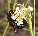 - - Hemipepsis toussainti - female