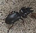 Big-headed Ground Beetle (Scarites subterraneus)? - Scarites