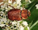 scarab - Hoplia