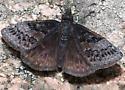 Dreamy Dusky Wing - Erynnis icelus - male