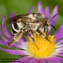 Bee - Anthophora urbana - female