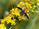 Sylphid Perhaps - Trichopoda pennipes