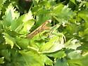 Praying Mantis - Mantis religiosa - male - female