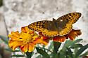 Speyeria image 6661 - Speyeria cybele - male