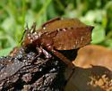 Water Critter - Hagenius brevistylus