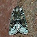 Moth 10.05.08 - Lacinipolia explicata