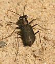 Tiger Beetle 2 - Cicindelidia punctulata