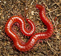 Soil Centipede - Strigamia fusata