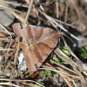 Clover or forage looper moth? - Caenurgina crassiuscula