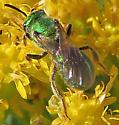 Augochlorini - Augochlorella