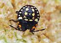 Stink Bug Nymph? - Nezara viridula
