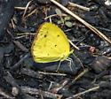 Little Yellow - Pyrisitia lisa