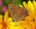 Striped Hairstreak Butterfly - Satyrium liparops